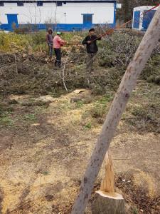 Abattage des sapins,Algérie Telecom Ain Oulmène le 21-02-2018